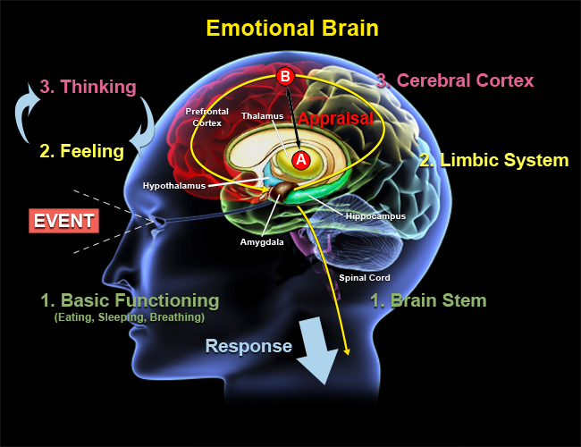 Emotional Abuse PostsEmotional Abuse – and the Brain. Limbic System Emotion